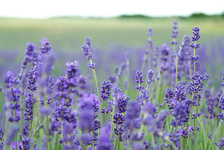 Lavendel Riechen